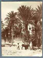 Algérie, Biskra (بسكرة), La Récolte des Dattes  Vintage albumen  print. Vintage