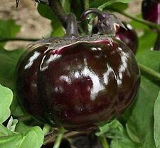 Black Russian Eggplant- THICK LORD (Tolstyi Barin) -20 Heirloom Aubergine Seeds