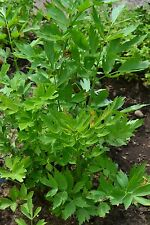 HERB  LOVAGE LEVISTICUM OFFICINALE  800 SEEDS