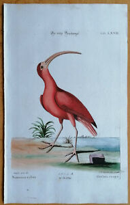 Seligman/Catesby Kupferstich Vögel Der rothe Brachvogel Folio - 1755