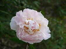 "1x Herbaceous Peony ""Marguerite Gerard"" (Paeonia lactiflora) Chinese Rose peonie"
