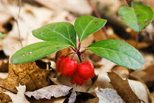 12 AMERICAN WINTERGREEN PLANTS - Gaultheria procumbens