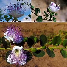 Echter Kapernstrauch • 30 Samen/seeds • Capparis spinosa•Kaper•essbar•Caper Bush
