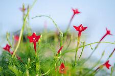 die wohl schönste Rankpflanze überhaupt: die klasse rote Federwinde !