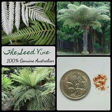 20+ NEW ZEALAND SILVER TREE FERN SPORES (Cyathea dealbata) Garden Kiwi Emblem