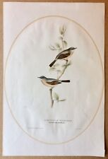 "Antique John Gould 1832 Spectacle Warbler Hand-Colored Lithograph Print 14""x21"""