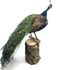 "Beautiful Large Peacock, Mounted Taxidermy Bird, ~48"" Head-to-Tail"