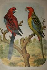 PERRUCHES OMNICOLORES ET PENNANT  GRAVURE COULEURS 1882 AC09