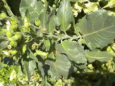 500 Sacred Aztec rustica organic tobacco seed nicotiana heirloom NightShade Farm