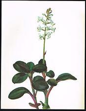 1970s Vintage Orchid Anoectochilus Regalis Flower Botanical Art Print