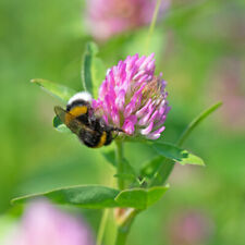 7,45€//kg 2kg Beutel Rotklee Gründüngung Bienenweide Saatgut Klee