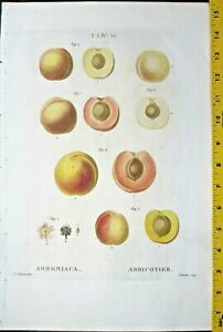 Redoute P.J.Apricots,Armeniaca,color-printed Engraving,c.1810 #50