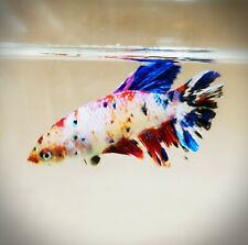 "Live Betta Fish - Female Halfmoon -""Koi Candy Fancy"" Betta High Quality (QJUN8)"