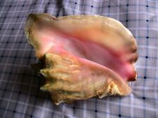 "Beautiful Queen Conch Shell 11.5"" large seashell (not from a fishery)"