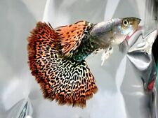 QUALITY GUPPY FISH DRAGON MIXED 3 STRAINS  (3MALES+3FEMALES)