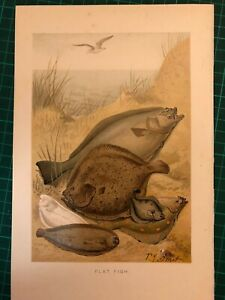 P.J. Smit Colour Original VINTAGE PRINT dated from late 1800's FLAT FISH PLAICE