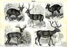1888= CERVI = Mammiferi = Animali = Antica Stampa = Old ENGRAVING