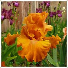 "TALL BEARDED IRIS GERMANICA ""BUTTERSCOTCH ROUNDUP"" Delivery August/September"