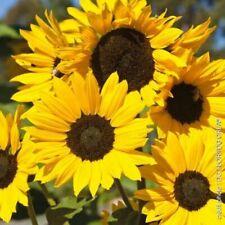 graines bio de soleil jaune
