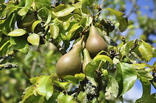 Conference Pear Tree 4-5ft Tall, Self-Fertile & Heavy Cropper, Ready to Fruit.
