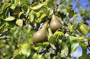 Conference Pear Tree 4-5ft 5L Pot, Self-Fertile & Heavy Cropper, Ready to Fruit