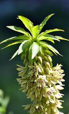 die Ananaslilie ist eine schöne Gartenstaude mit einer grandiosen großen Blüte !