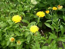 20 seeds of Norfolk Wild Field Organic Marigold,calendula arvensis,Wild flower