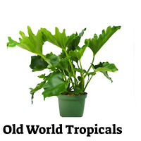 """LIVE PLANT Philodendron """"Hope""""Tropical Ornamental Garden Exotic Plant"""