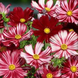 Cosmos bipinnatus 'Velouette'- 100 Seeds - Hardy Annual Flower
