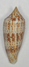 Conus Duplicatus 64.57mm Beautiful Specimen off Tosa Bay, Japan