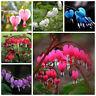 10 Stück Tränendes Herz Samen Lamprocapnos spectabilis Samen Garten
