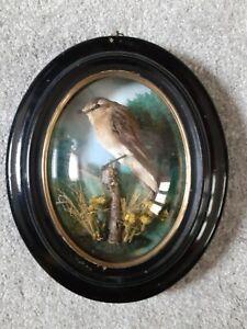 Victorian Taxidermy Bird In Glass Dome