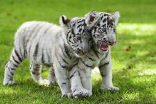 White Baby Tigers Cute Asian Wild Animal Nature Art Poster 28'' x 18''
