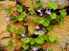 wächst gern auf Steinen und blüht wunderschön: das Zimbelkraut !