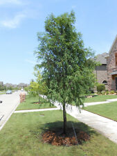 BALD CYPRESS TREE quart pot (Taxodiun distichun)