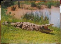Postcard Animal Crocodile Southern Africa - unposted