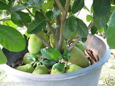 5 Rare Seeds Low Bearing Jackfruit Seeds High growing nutritious Jack-Fruit Seed