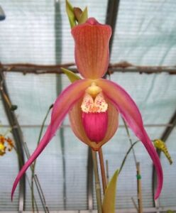 Phragmipedium Chuck Acker (Eric Young 'Rocket Fire' [4N] x wallisii 'Warrior')