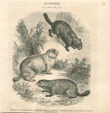 Marmotte Noire Marmottes de Pologne et Québec Canada GRAVURE ANTIQUE PRINT 1860