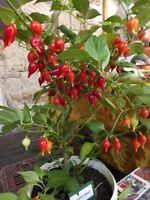 Chupetinho Chili - rote Biquinho aus Brasilien 10+ Samen - Saatgut -Gemüsesamen