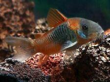 Corydoras venezuelanus 'Orange' (Catfish)