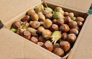 Fresh 'Golden' ORGANIC Cobnuts Hazelnuts Cob Hazel nuts (in shell) UK grown