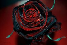100 True Blood Black Rose Flower Rare Amazingly Beautiful Seedling Seed