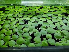 Amazon Frogbit 20+ Leaves Aquarium / Pond Floating Plant