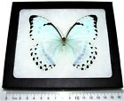 REAL FRAMED BUTTERFLY METALLIC ICE BLUE MORPHO CATENARIA CATENERIUS