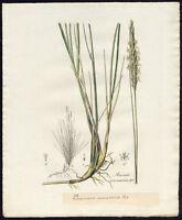 Antique Print-MARRAM GRASS-BEACHGRASS-AMMOPHILA ARENARIA-587-Flora Batava-1800