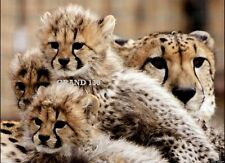 Collectable Art Work - 8.5 x 11 Prints - Three Cheetah Cubs