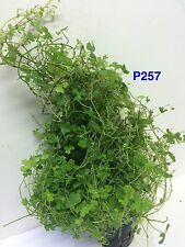 Live Aquatic Hydrocotyle tripartita Potted P257 ~ BUY 2 GET 1 FREE/ Free Shpping