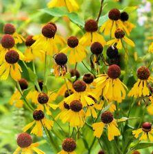 HELENIUM FLEXUOSUM, PURPLE-HEADED SNEEZEWEED 100 seeds
