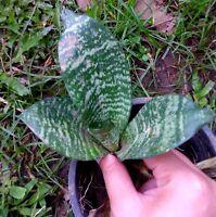 "4"" Sansevieria paten exotic rare succulent outdoor indoor collector snake p C576"